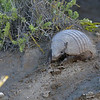 So what do you do for 6 hours when the orcas aren't around?  If you're not out there at the attack beach, you can wander around looking for other wildlife.  I was particularly charmed by these little fellas..... hairy armadillos.