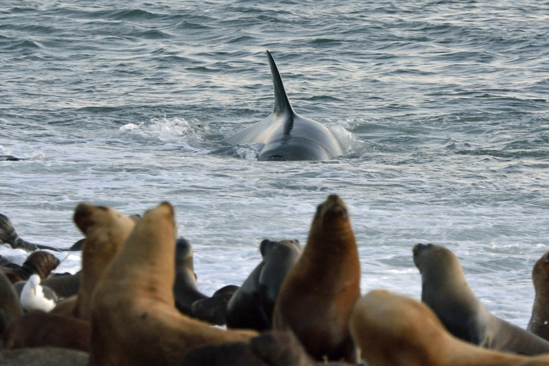 This orca had zeroed in on a pup (underwater in this shot).