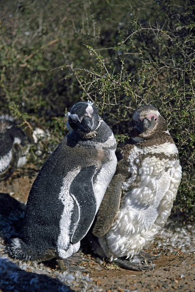 Penguins are monogamous for only 1 breeding season, but it might appear otherwise.  When the breeding season is complete, penguins congratulate themselves on a job well done, then go their separate ways at sea.  However, like many birds, penguins tend to return to a nest they've previously used and might well hook up with the same mate year after year.