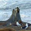 A pair of young Southern elephant seals came ashore and began sparring.