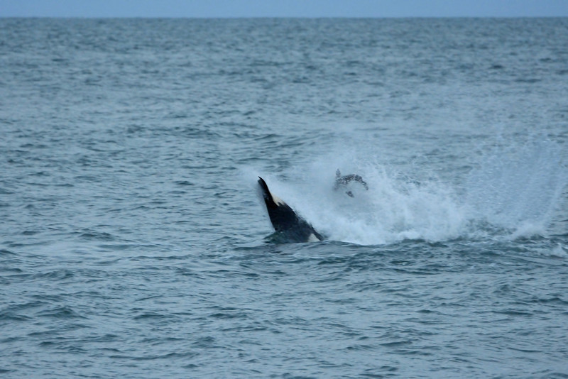 The orca took the pup out to sea and flipped it in the air with its tail.  No one knows why orcas do this.