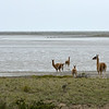 A group of guanacos watches another group of guanacos cross the channel.