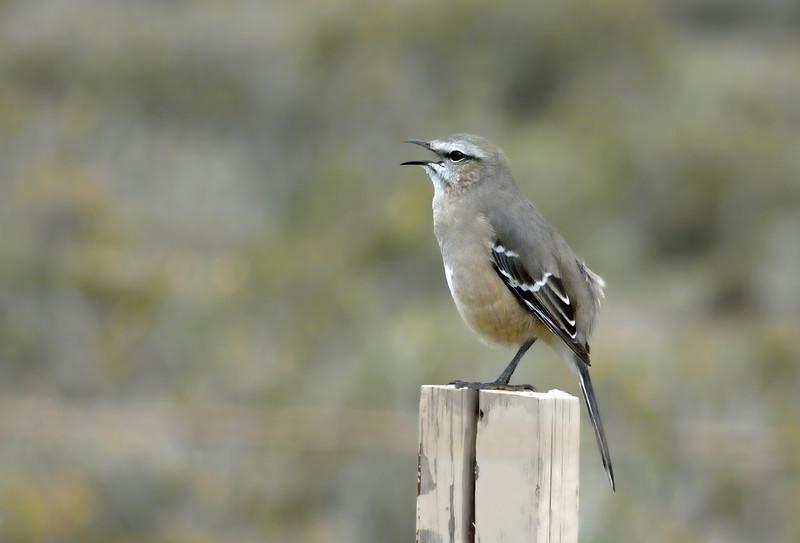 Patagonian mockingbird.