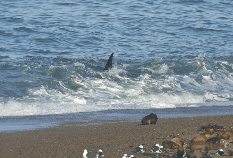"""But this wasn't """"it"""".  The orca turned and resumed patrolling right in front of the beach.  Luis later explained the water was still to shallow for the orcas to hunt, so they were just checking things out."""