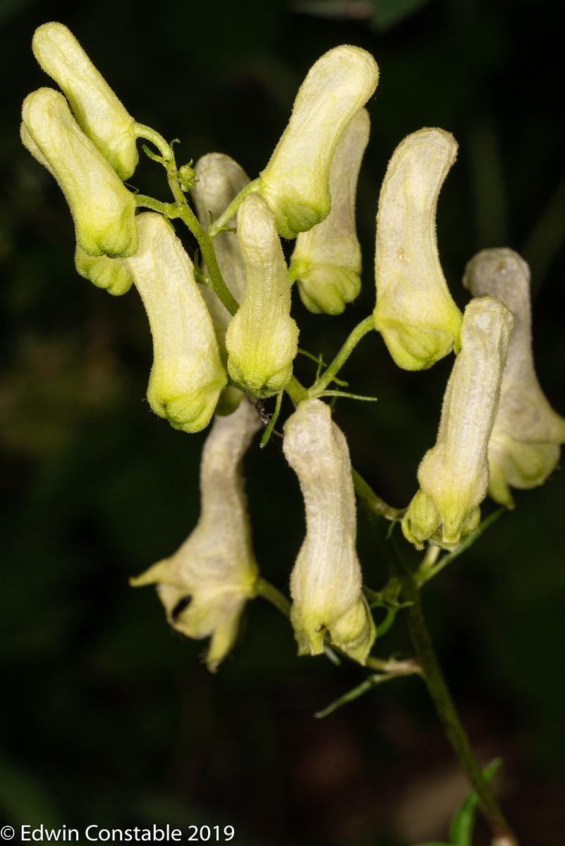 IMAGE: https://photos.smugmug.com/Nature-and-Wildlife/Plants-and-flowers/Aconitum-lycoctonum-Wolfsbane/i-McBChVw/0/d3f401f8/X3/R3A04712-X3.jpg