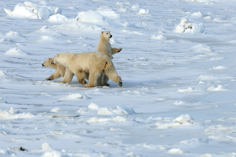 """The cubs tried hard to do """"big bear"""" things."""