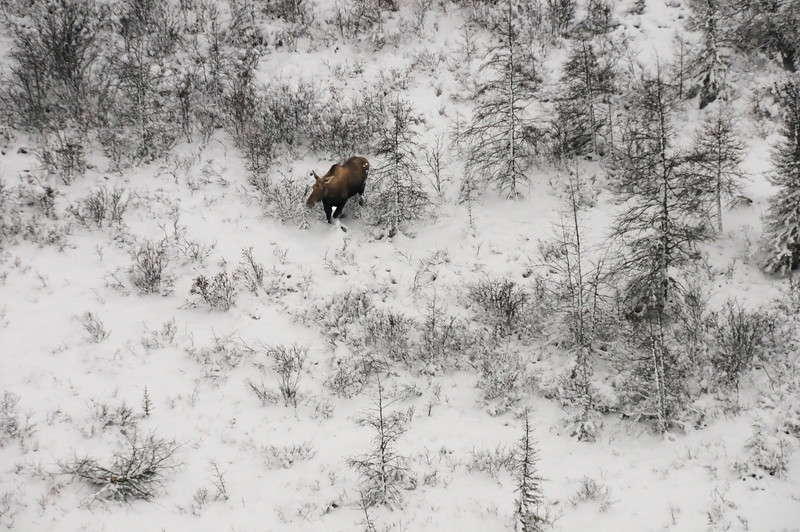 It was a dark morning, so please forgive the poor photos.  This is a moose.