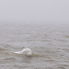 It got so windy and foggy we could hardly see even the very whitest belugas  near the zodiak.