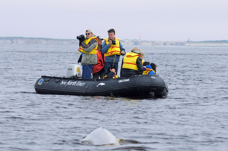"""The whales are everywhere, but unlike humpbacks in Hawaii, the belugas in Churchill are heads down focused on feeding. The adults never raise their heads above water and rarely show their tales. The younger whales must rise a bit higher to get a good breath, but the """"face shot"""" opportunities are few and far between."""