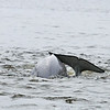 """Belugas are small (up to 15 ft) toothed whales who begin life dark in color, gradually turning pure white as they age. Unlike all other whales, they have flexible necks and no dorsal fins. They're very social and talkative, which is how they got their nickname, """"canaries of the sea""""."""