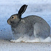 Arctic hare.  It will turn white for the winter.