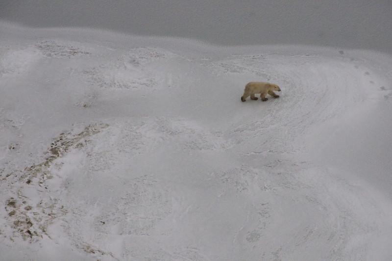 Polar bear going to test the ice.
