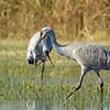 Sandhill crane mated pair foraging