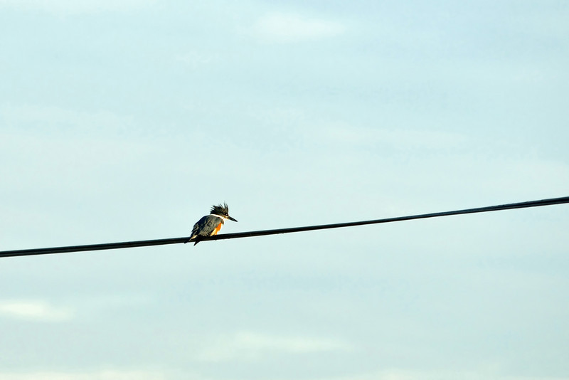 Distant kingfisher