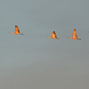 Sunlit sandhaill cranes heading for their roosting grounds