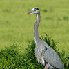Great blue heron in fine breeding plummage.