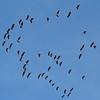 Around 4:00 PM, birds started arriving by the 100's.  Think these are white fronted geese.