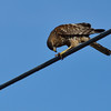 Red-shouldered hawk polishing off lunch.