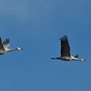 Sandhill cranes coming in to roost in shallow water for the night.  It's late in the winter feeding season for them, so soon they'll be traveling north to raise their families before returning next fall.