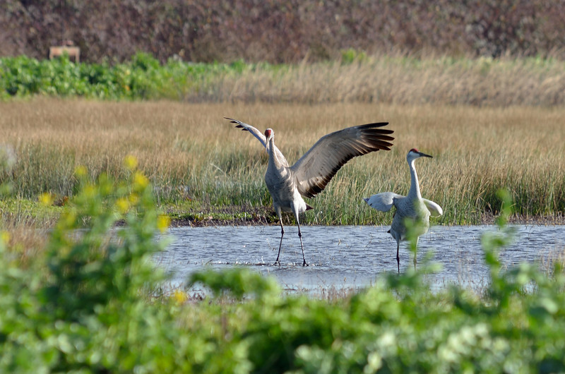 Although the sandhill cranes stayed far from the road, it was great to see them court.