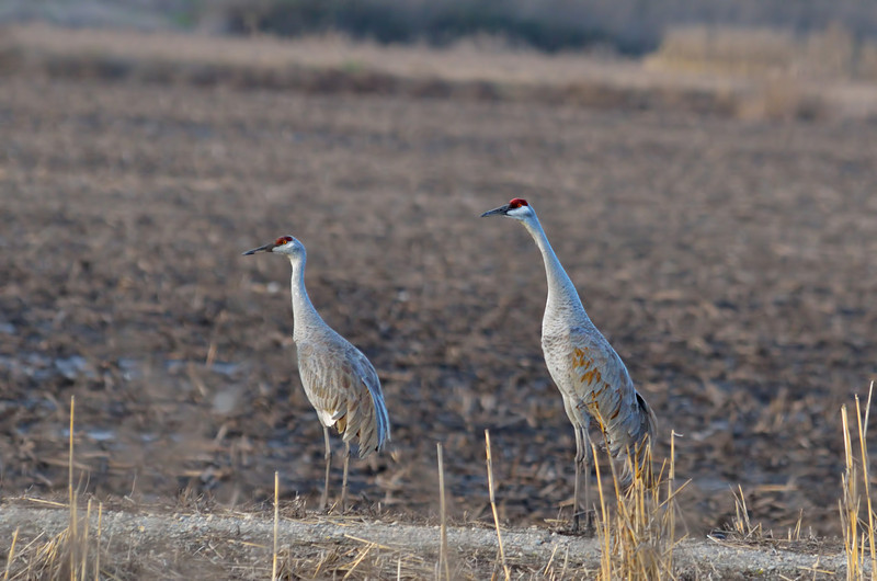 One of the few pairs of sandhill cranes we saw sort-of near the road.