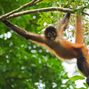 Black-handed Spider Monkey