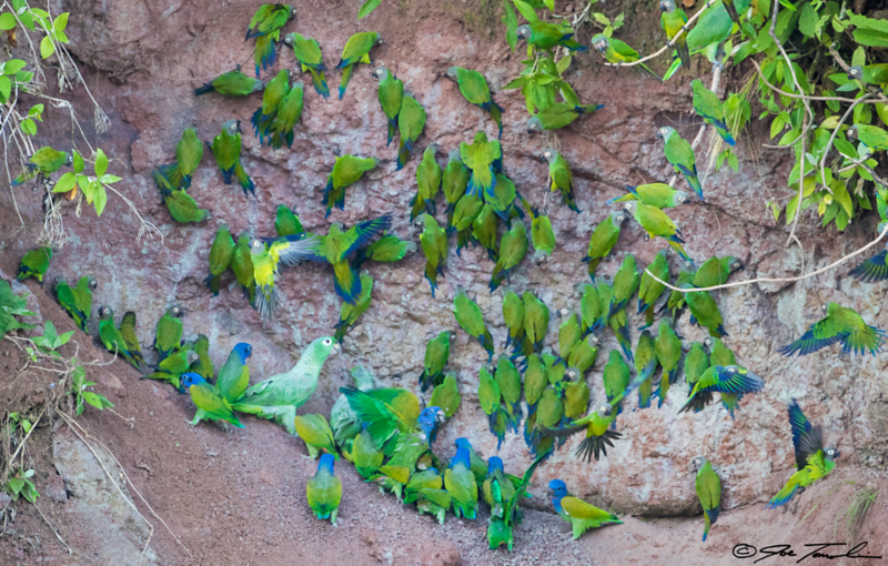 Parrots gather at a Clay Lick