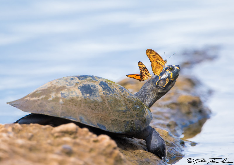 Yellow-spotted River Turtle with butterflies