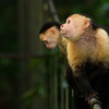 White-throated Capuchins