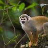 Common (Ecuadorian) Squirrel Monkey