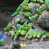 Cobalt-winged Parakeets at Mineral Lick