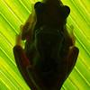 Hourglass Treefrogs