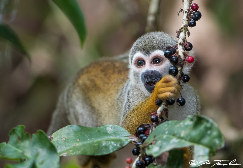 Common (Ecuadorian) Squirrel Monkey