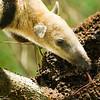 Northern Tamandua Anteater