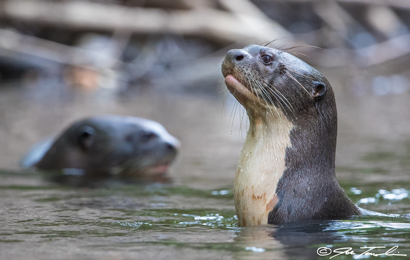 Amazonian Giant River Otters