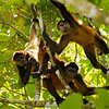 Black-handed Spider Monkeys