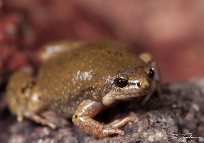 Great Plains Narrowmouthed Toad