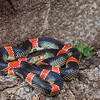 Sonoran Long-nosed Snake