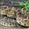 Mexican West Coast Rattlesnake