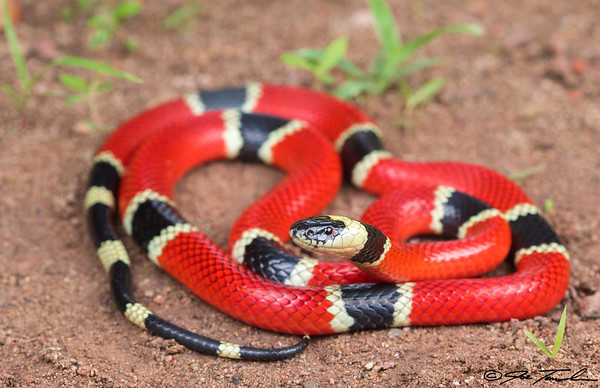 West Mexican Coral Snake