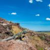 Great Basin Collared Lizard