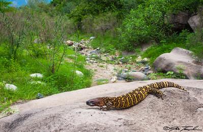 Rio Fuerte Beaded Lizard