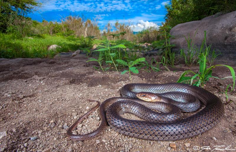 Neotropical Whipsnake
