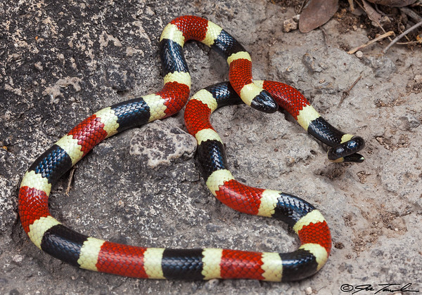 Sonoran (Arizona) Coral Snake