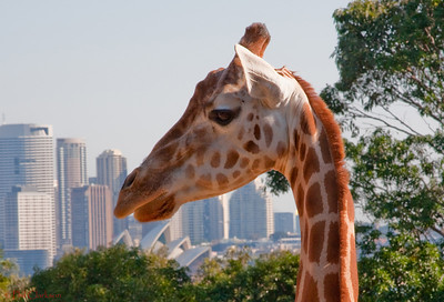 Giraffe at Sydney's Taronga Zoo, Australia