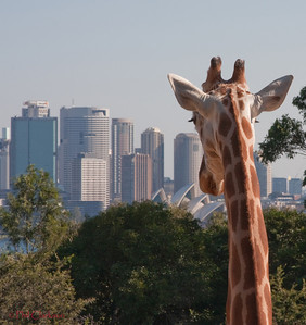 Giraffe with good view of Sydney harbour. Taronga Zoo, Sydney, Australia