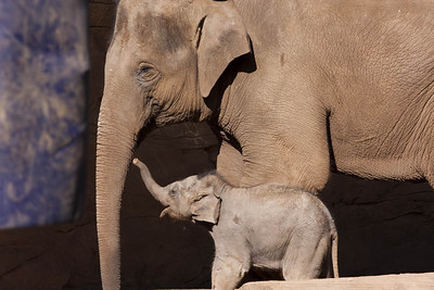 Asian Elephant mother and baby.