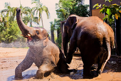 Asian Elephants at play. Taronga Zoo, Sydney, Australia