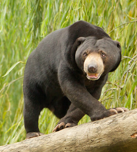 Sun Bear, National Zoo, Canberra