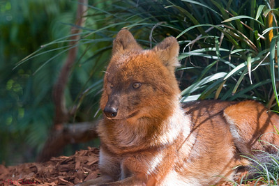 Dhole (Asiatic wild dog) at Taronga Zoo, Sydney, Australia